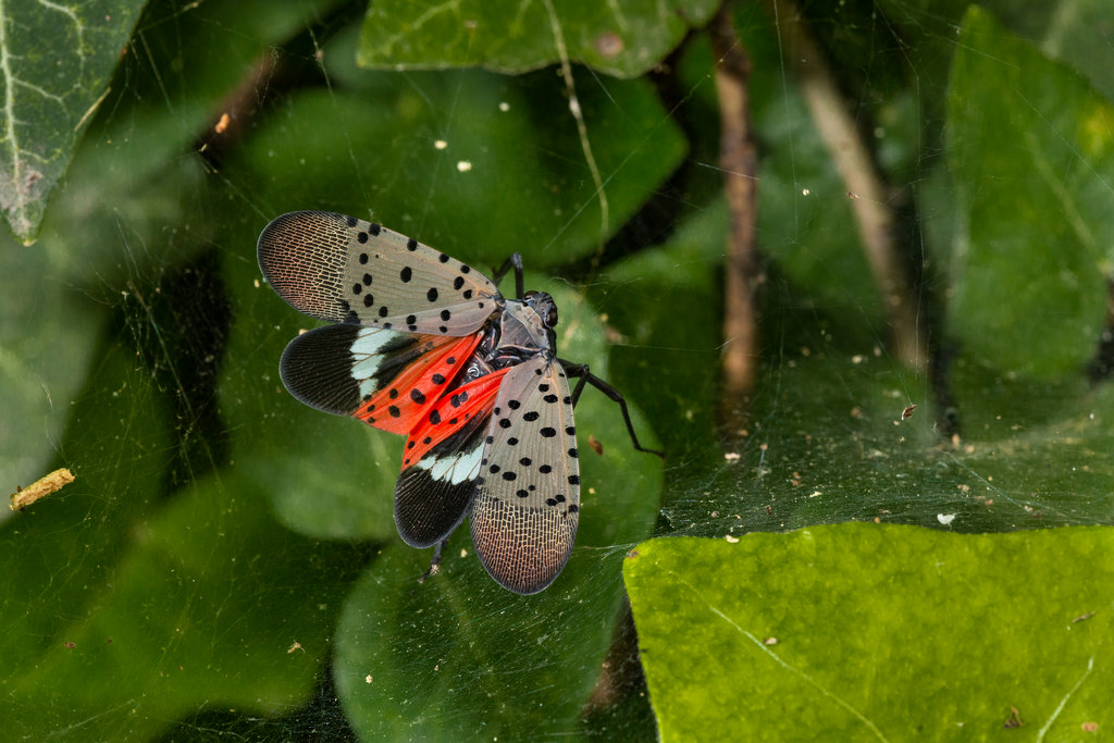 The Spotted Lantern Fly